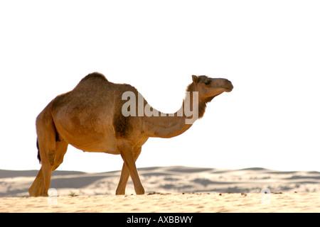 Eine arabische Kamel, alias ein einer buckligen Dromedar (Camelus Dromedarius) im Wahiba Sands im Oman. - Stockfoto