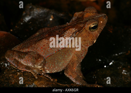 Laubstreu Frosch in der Nähe von Cana im Nationalpark Darien, Republik von Panama. - Stockfoto