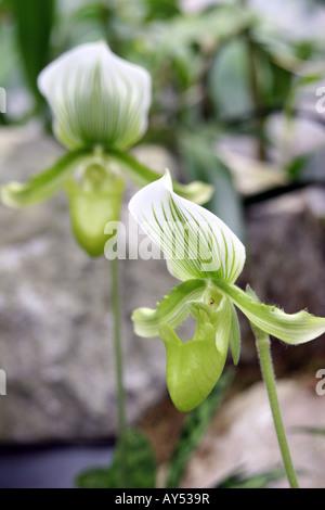 Nahaufnahme von ungeraden Orchidee oder Iris. Foto von Tom Zuback - Stockfoto