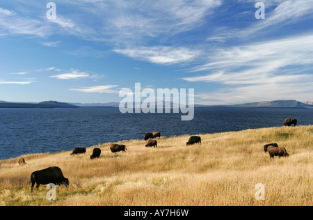 Eine Herde Bisons grasen in den Herbst Rasen durch Lake Yellowstone im Yellowstone-Nationalpark, Wyoming, USA. - Stockfoto