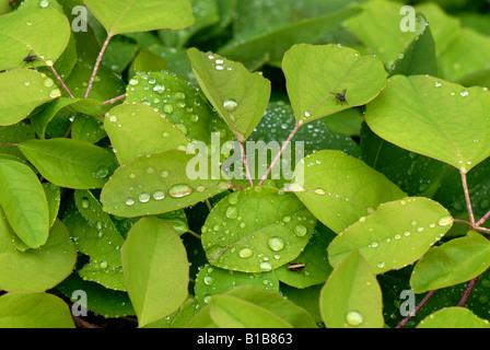 Schokolade Rebe Akebia Quinata mit Regenwasser Tropfen nach der morgendlichen Dusche - Stockfoto