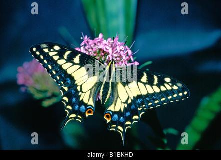 Anis Schwalbenschwanz Schmetterling Papilio Zelicaon auf einer Blume - Stockfoto