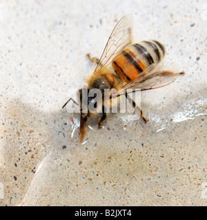 Eine einzelne Honigbiene (Apis Mellifera) trinkt Wasser aus einem Vogelbad auf 100 Grad Sommertag. Oklahoma, USA. - Stockfoto