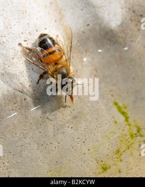 Honig Biene (Apis Mellifera) Trinkwasser aus einem Vogelbad auf 100 Grad Sommertag. Oklahoma, USA. - Stockfoto