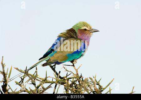 Lilac-breasted Roller (Coracias Caudata) Porträt, Ndutu, Ngorongoro, Tansania - Stockfoto