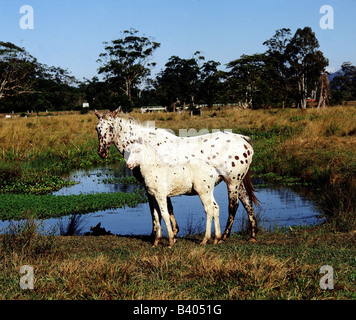 Zoologie / Tiere, Säugetier / Säugetier, Pferde (Equus), inländische Pferd (Equus Przewalski Caballus), Rasse: Appaloosa - Stockfoto