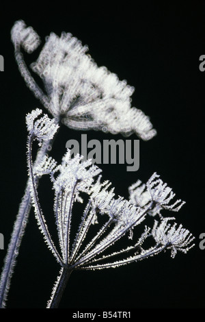 Heracleum Mantegazzianum bedeckt in frost - Stockfoto