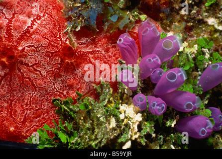 Bunte Korallen und Pflanzen, Honduras, Mittelamerika - Stockfoto