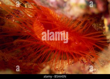 Oyster Shell Muschel (Datei Muschel), tief im Riff Felsspalten, Sabah, Borneo, Malaysia, Südost-Asien gefunden - Stockfoto