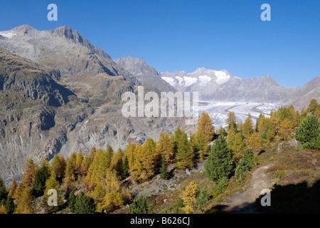 Und Aletschgletscher Aletschwald, Schweiz - Stockfoto