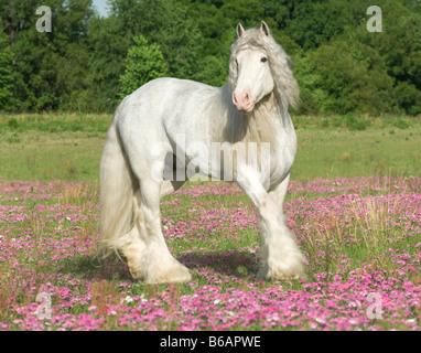 Gypsy Vanner Horse Hengst - Stockfoto
