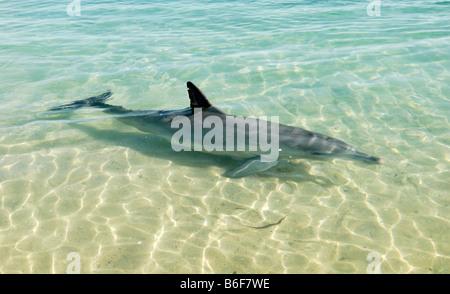 Gemeinsame große Tümmler (Tursiops Truncatus) im flachen Wasser, Monkey Mia, Shark Bay, Westaustralien - Stockfoto