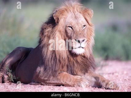Porträt-Löwen in Afrika-Nationalpark - Stockfoto