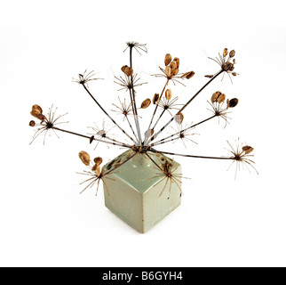 Heracleum Sphondylium-Riesen-Bärenklau im Samen in einer Keramikvase. - Stockfoto