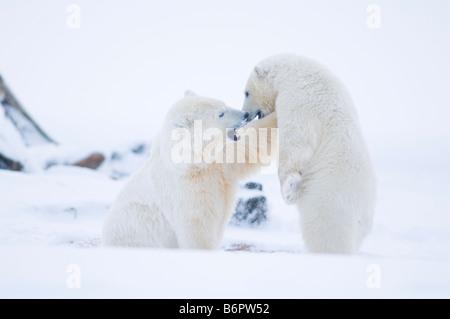 Eisbär Ursus Maritimus Frühling Cub spielt mit zwei 2 Jahre alten Bären auf dem Packeis aus der Arktis - Stockfoto