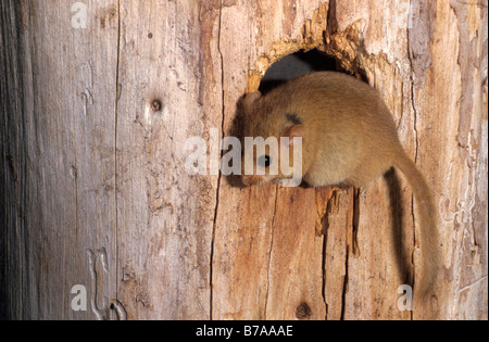 Hazel Dormouse (Muscardinus Avellanarius) in ein Loch in einem Baum - Stockfoto