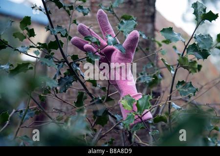 Handschuh in eine Stechpalme bush - Stockfoto