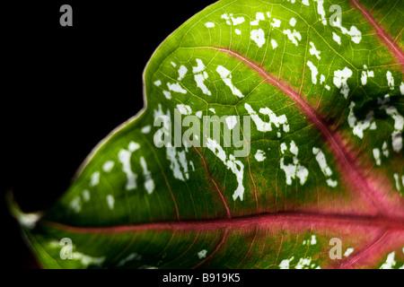 Nahaufnahme Makro Bild eines vibrantly farbigen gesprenkelten Blattes gehören zur Caladium Anlage - Stockfoto