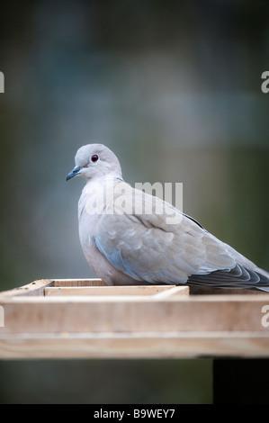 Streptopelia decaocto. Collared dove auf ein Vogel Tabelle - Stockfoto