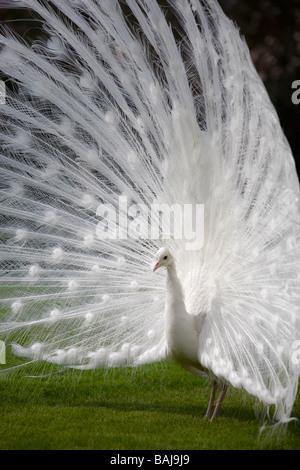 Eine männliche Albino Pfau (Pavo Cristatus) Verbreitung Schwanzspitze (Italien). Paon Bleu (Pavo Cristatus) Leucistique - Stockfoto