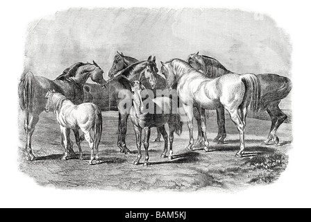 Pferd Pferde Hengst Stute foul Hufen Huftier Säugetier zu zähmen Pferde Ponys Farmerfamilie Arbeit wilde Tier domestizierte - Stockfoto