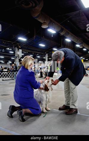 Clumber Spaniel geprüft durch den Richter im Ring zeigen auf der Hundeausstellung der Louisville in Louisville Kentucky - Stockfoto