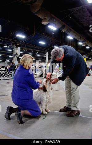 Der Biss von einem Clumber Spaniel geprüft durch den Richter im Ring zeigen auf der Hundeausstellung der Louisville - Stockfoto