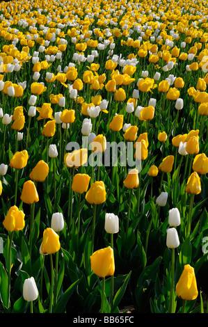 Gartenbeet Hintergrundbeleuchtung gelb Golden Apeldoorn und White Dream Tulpen in Ottawa Tulip Festival im Frühjahr - Stockfoto