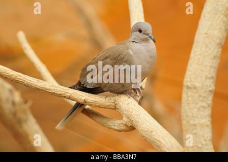 Eurasian Collared Dove (Streptopelia Decaocto), in der Al Ain Zoo, Al Ain, Abu Dhabi, Vereinigte Arabische Emirate, - Stockfoto