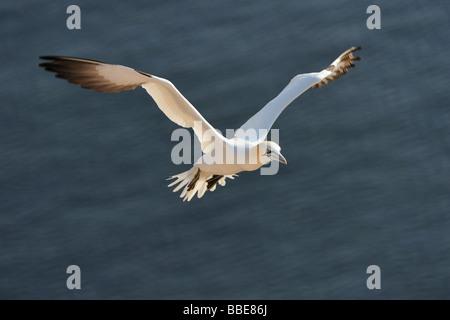 Basstölpel (Morus Bassanus, Sula Bassana) Landung - Stockfoto