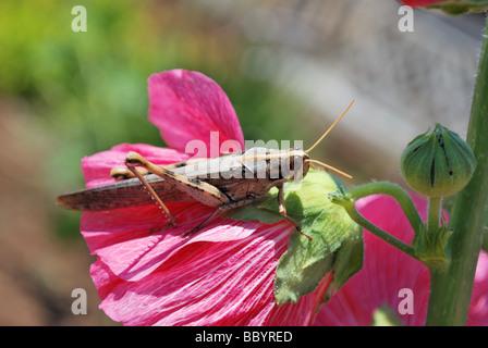 kurze Horn Heuschrecke auf rote Stockrose - Stockfoto