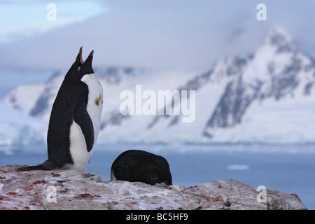 Antarktis, Peterman Island, Adelie Penguin (Pygoscelis Adeliae) - Stockfoto