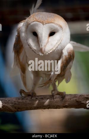 Schleiereule, Tyto Alba, thront - Stockfoto