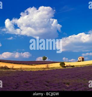 Lavendelfelder in der Vaucluse-Hochebene-Haute-Provence - Stockfoto