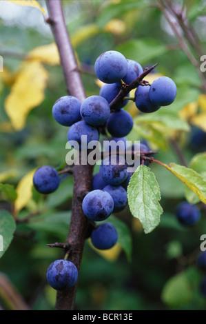 Schlehe Prunus spinosa - Stockfoto