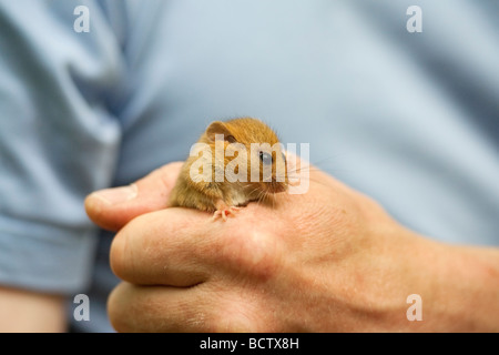 Haselmaus Muscardinus Avellanarius in Forscher s Hand UK - Stockfoto