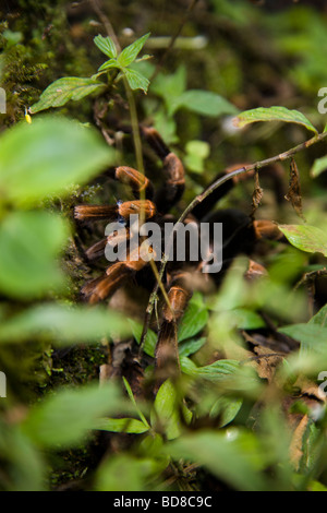 Costa Rican Orange-kneed Vogelspinne (Megaphobema Mesomelas) in Monteverde Nebelwald Reservat, Santa Elena, Costa - Stockfoto