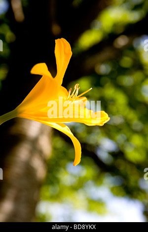 Einzelne gelbe Lilie wächst in einem Garten - Stockfoto