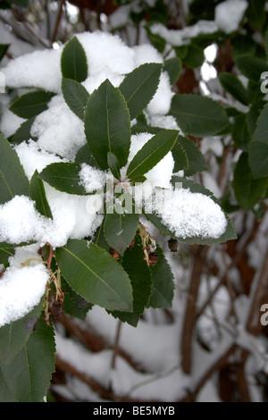 Strauch mit Schnee bedeckt - Stockfoto