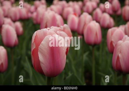 Masse der zarte schöne rosa Tulpe (Tulipa) Blumen in voller Blüte eng zusammen wachsen in Buckinghamshire, Großbritannien - Stockfoto