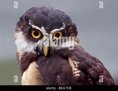 Spectacled Eulen (Pulsatrix Perspicillata) - Stockfoto