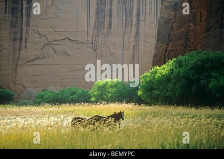Pferde auf grasigen Weide unterhalb der Sandsteinfelsen am Canyon De Chelly National Monument, Navajo-Nation, Arizona, - Stockfoto