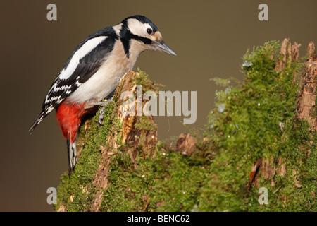 Größere gefleckte Specht (Dendrocopos Major) Hämmern auf Baumstamm, Belgien - Stockfoto