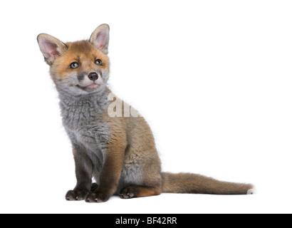Red Fox Cub, Vulpes Vulpes, 6 Wochen alt, sitzt vor weißem Hintergrund, Studio gedreht - Stockfoto