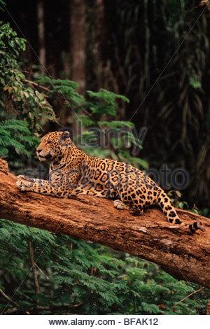 Jaguar, Panthera Onca, Brasilien - Stockfoto