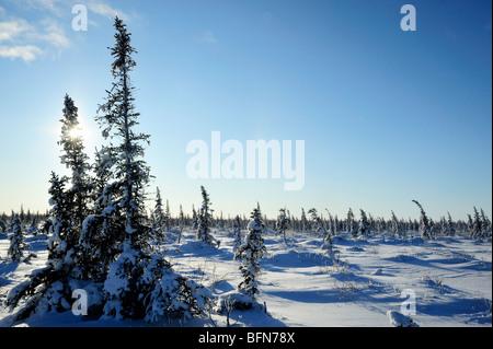 Boreal Bäume und Neuschnee, Churchill, Manitoba, Kanada - Stockfoto