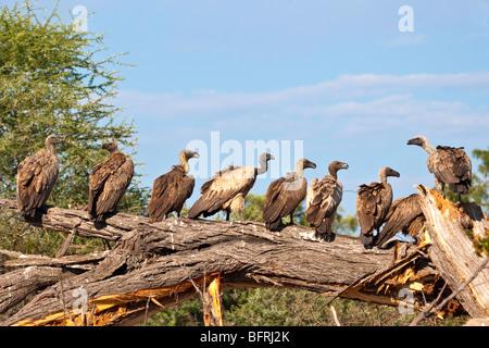 Geier hintereinander sitzen auf umgestürzten Baum zu füttern - Stockfoto