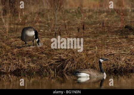 Eine Mutter Gans dem Nestbau mit Federn und eine Vater-Gans Wachposten auf einem Teich - Stockfoto