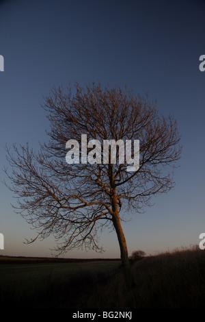 Ein einsamer Baum gegen den Abendhimmel auf der Seite des Teufels Dyke, Swaffham Prior, Cambridgeshire. Vereinigtes - Stockfoto