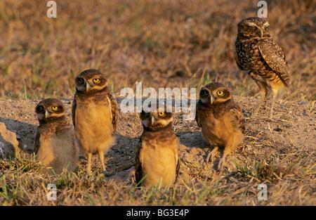 Kanincheneule mit vier Jungtauben / Athene Cunicularia - Stockfoto